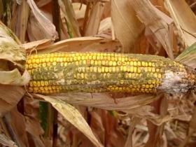 Nastanak aflatoksina u kukuruzu